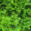 Cypress needles — Stock Photo