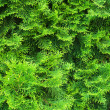 Cypress needles - Stock Photo