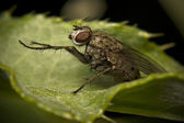 Macro Of Flesh House Fly — Stock Photo