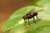 Garden House Fly — Stock Photo