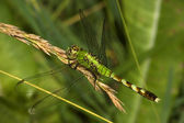 Green Clearwing Dragonfly — Stock Photo