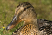 Mallard Profile — Stock Photo