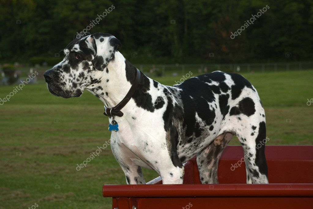 Profile of Great Dane dog in back of red pickup truck — Stock Photo #5339207