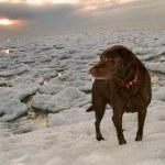 Chocolate Labrador Retriever On Winter Lake Ice Flow — Stock Photo