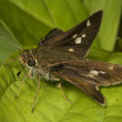 Spotted Skipper Butterfly — Stock Photo