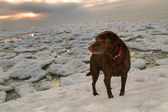 Chocolate Labrador Retriever On Winter Lake Ice Flow — Stock Photo