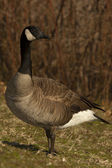 Canadian Goose Pond Side Profile — Stock Photo