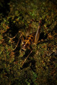 Spotted Cave Cricket Macro Closeup — Stock Photo