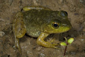 Young Green Frog On Land — Stock Photo