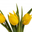 Yellow tulips on the white background — Stock Photo