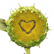 Sunflower with heart — Stock Photo