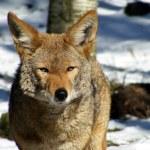Постер, плакат: Portrait of coyote in winter