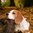 Beagle lying on tree root in forest in autumn - Stock Photo