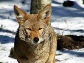 Portrait of coyote in winter — Stock Photo