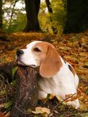 Beagle lying on tree root in forest in autumn — Stock Photo