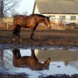 Постер, плакат: Brown horse and its reflection in the puddle