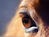 Brown horse eye — Stock Photo
