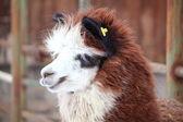 Portrait of brown and white Alpaca — Stock Photo