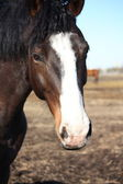 Close up of dark brown horse with white stripe — Stock Photo