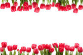 Isolated Tulip Frame — Stock Photo