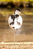 Ptak brodzący — Zdjęcie stockowe