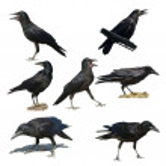 Rook isolated on white background, Corvus frugilegus — Stock Photo #5373881