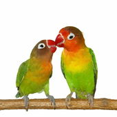Kiss Lovebird isolated on white background Agapornis fischeri — Stock Photo