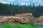 Farakás skót erdő
