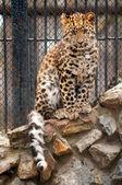 Mladí amur nebo manchurian leopard - jeden z nejvzácnějších KOCky na světě