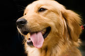 Golden Retriever stick its tongue out