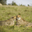 Cheetah cubs cleaning one another