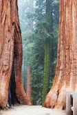 Foresta di Sequoia nella nebbia