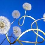 Постер, плакат: Group of curly dandelions on blue