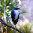 thumbnail of Pied Heron, also called Pied Egret, Native bird of Australia