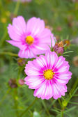 Cosmos flowers closeup