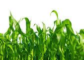 Kukorica a területen