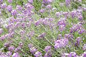 Purple flower carpet
