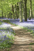 Bluebells Growing In Woodland