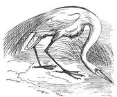 Engraving of a White Heron or egret (Ardea egretta) Old vintage engraved illustration of the great white egret or heron in his environment