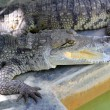 thumbnail of Crocodiles having a sun bath in South America