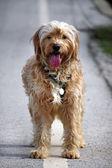 Haushund auf den Seitenweg