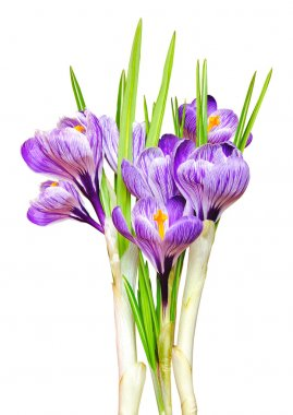 Beautiful spring crocus.i