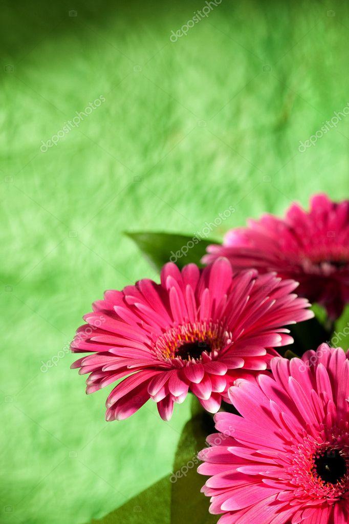 Fiori rosa gerber foto stock tolokonov 4595295 for Fiori gerbere