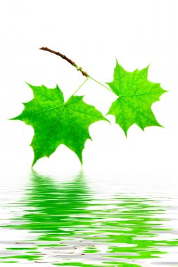 Mapple leaves isolated with reflection stock vector