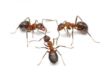 Ants connecting with antennas to create network for decide problem or make