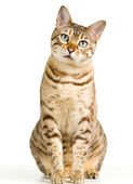 Photo Cute Bengal kitten looks pensively at camera