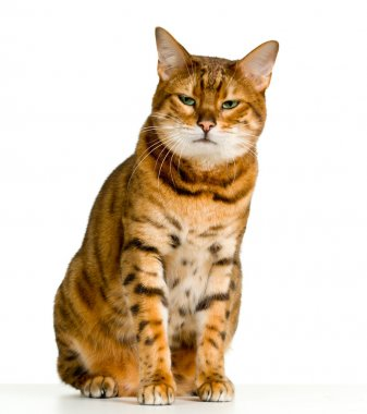 Cute Bengal kitten looks angry as it stares at the viewer