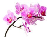 Fotografie izolované orchidej