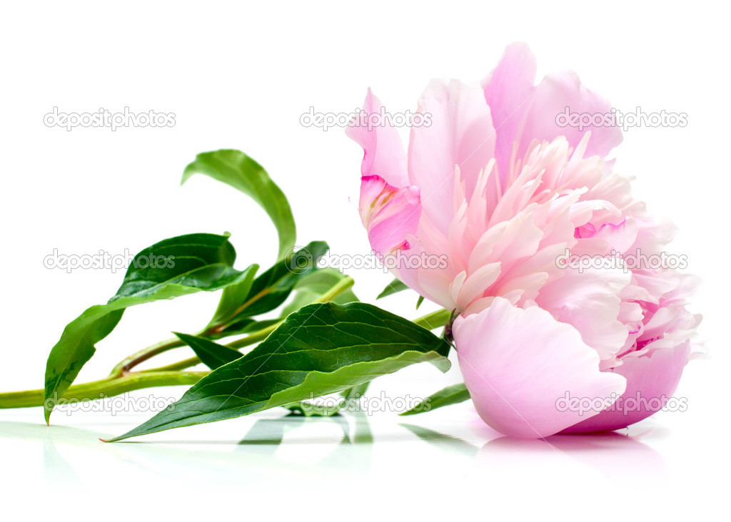 Pink peony on white