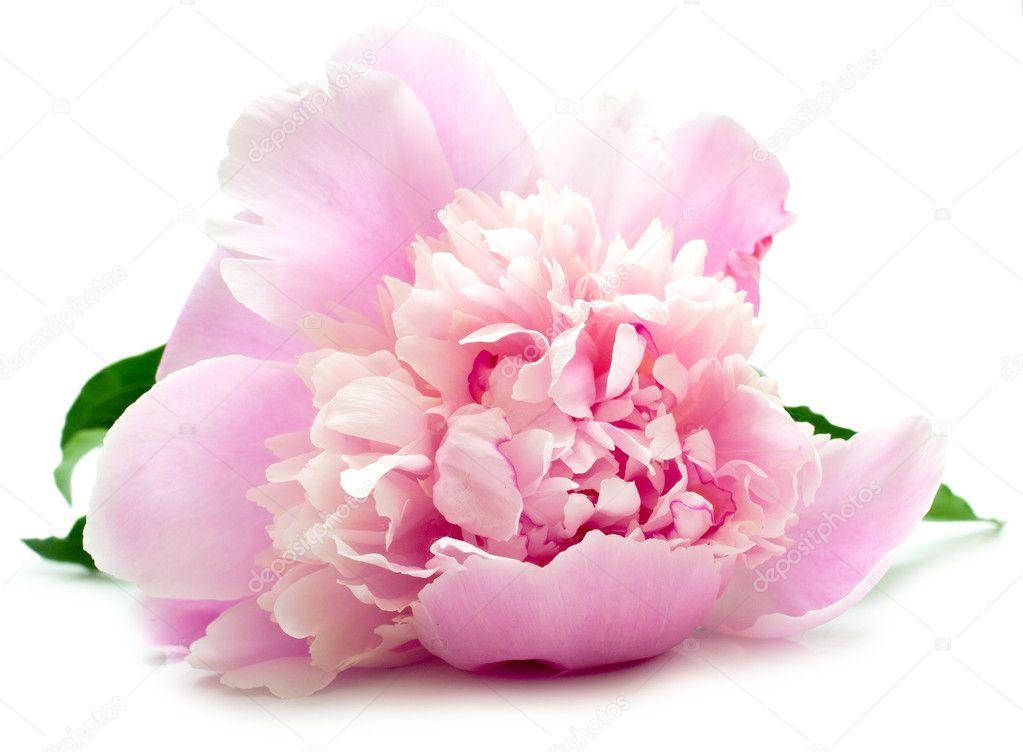 Pink peony on white